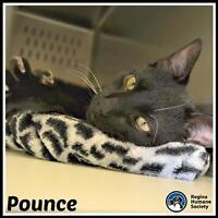 """Adult Male Cat - Domestic Short Hair: """"Pounce*"""""""
