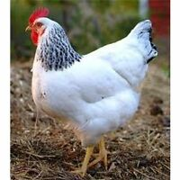 22 Colombian Rock Plymouth Rock x Reds Laying hens: