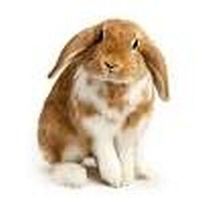 2 lop-earred holland rabbits for sale