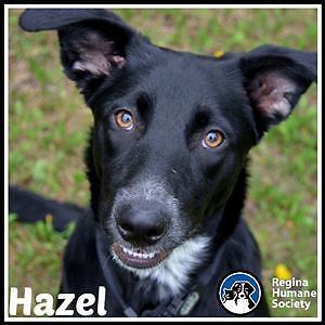 """Young Female Dog - Labrador Retriever-Border Collie: """"Hazel"""""""
