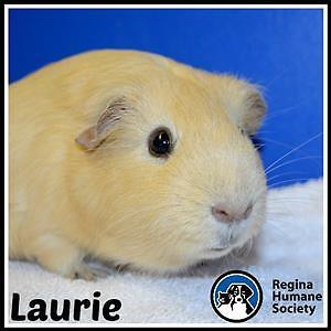 """Adult Male Small & Furry - Guinea Pig: """"Laurie*"""""""