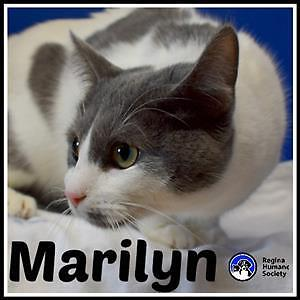 """Young Female Cat - Domestic Short Hair: """"Marilyn*"""""""