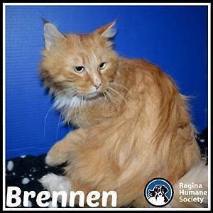 "Adult Male Cat - Domestic Long Hair: ""Brennen*"""