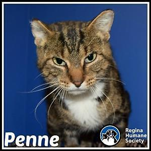 "Adult Female Cat - Domestic Short Hair: ""Penne*"""
