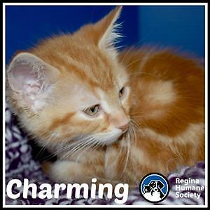 """Baby Male Cat - Domestic Short Hair: """"Charming*"""""""