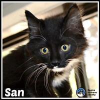 "Baby Female Cat - Domestic Short Hair: ""San*"""