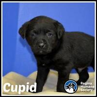 "Baby Male Dog - Shepherd: ""Cupid*"""