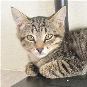 "Baby Male Cat - Domestic Short Hair: ""Crosby"""