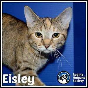 """Young Female Cat - Domestic Short Hair: """"Eisley*"""""""