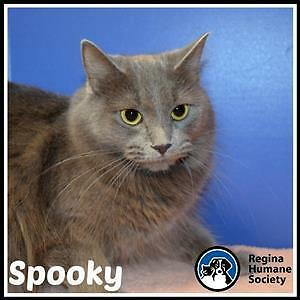 "Young Female Cat - Domestic Medium Hair: ""Spooky"""
