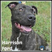 """Adult Male Dog - American Staffordshire Terrier: """"Harrison Ford"""""""