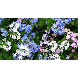 Forget-Me-Nots : Perennial Plants.. starting to bloom