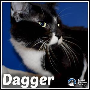 "Young Male Cat - Domestic Short Hair: ""Dagger*"""