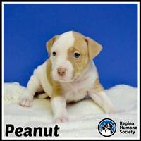 "Baby Female Dog - American Staffordshire Terrier: ""Peanut*"""