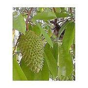 Guanabana Leaves