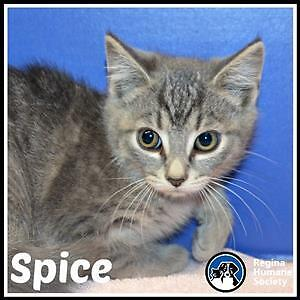 """Baby Female Cat - Domestic Short Hair: """"Spice*"""""""