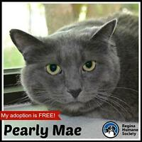 "Adult Female Cat - Domestic Short Hair: ""Pearly Mae"""