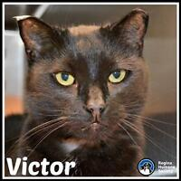 "Adult Male Cat - Domestic Short Hair: ""Victor*"""