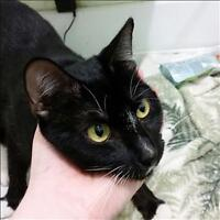 "Adult Female Cat - Domestic Short Hair: ""Luna"""