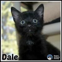 """Baby Male Cat - Domestic Short Hair: """"Dale*"""""""