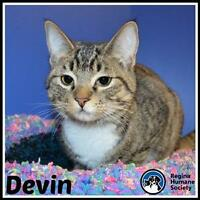 """Young Female Cat - Domestic Short Hair: """"Devin"""""""