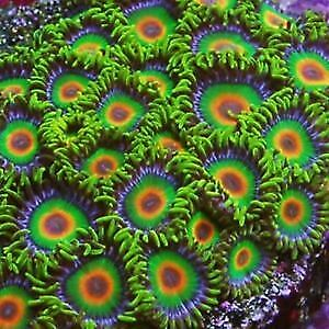 CORAL - Zoas and Palys