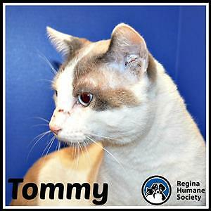 "Adult Male Cat - Domestic Short Hair: ""Tommy*"""