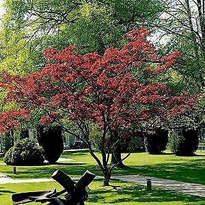 FREE Japanese Red Maple tree