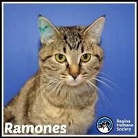 "Young Female Cat - Domestic Short Hair: ""Ramones*"""