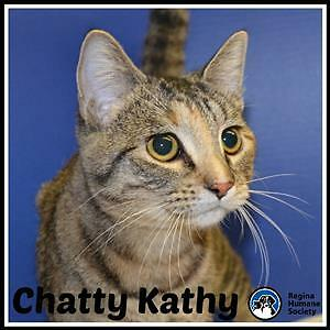 "Young Female Cat - Domestic Short Hair: ""Chatty Kathy*"""