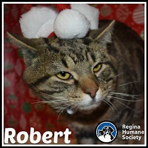 "Adult Male Cat - Domestic Short Hair: ""Bobby"""