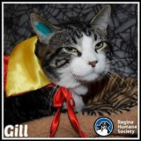 """Adult Male Cat - Domestic Short Hair: """"Gill*"""""""