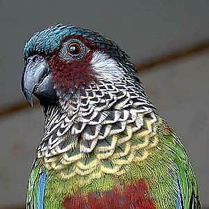 Hand raised super friendly rare Painted Conure babies
