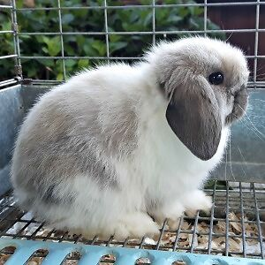 Baby Holland Lop buck (updated May 20)