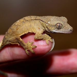 Gecko a crête