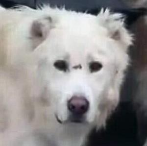 "Adult Male Dog - Great Pyrenees: ""JED"""