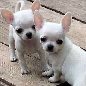 Wanted: Wanted: Chihuahua Puppy