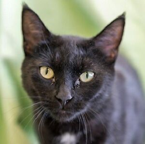 Meow Foundation's lovely Black Pearl looking for purrfect home!