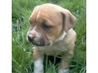 American Bulldog Puppy Boy
