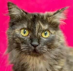 Meow Foundation's gentle Marcie looking for purrfect family!