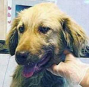 "Young Male Dog - Golden Retriever: ""Lucas"""