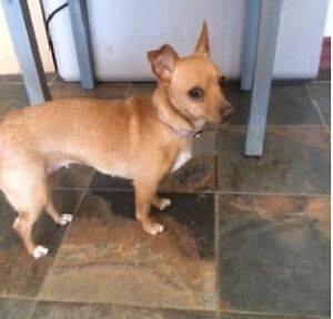Cagney - cute Chi mix who needs a foster or forever home!