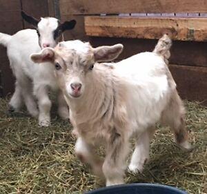Perfect Pets - Adorable Purebred Miniature Fainting Goats London Ontario image 2