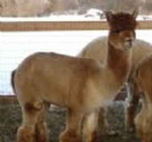 Interested in starting an alpaca farm?