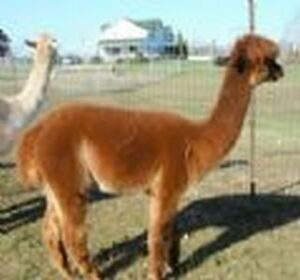 Christmas Sale in the Barn with the Alpacas Kitchener / Waterloo Kitchener Area image 3