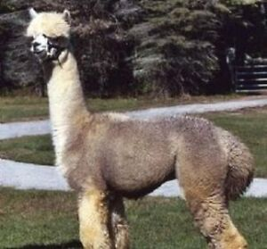 Registered alpacas for sale