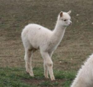 Christmas Sale in the Barn with the Alpacas Kitchener / Waterloo Kitchener Area image 4