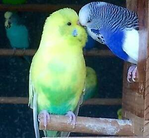Budgerigars Tenterfield Tenterfield Area Preview