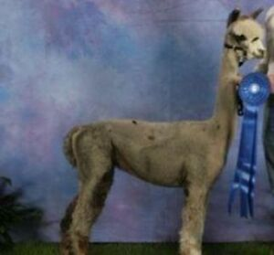 Interested in owning alpacas?