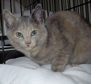 "Adult Female Cat - Dilute Tortoiseshell: ""Lacey"""